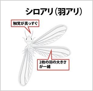 シロアリ(羽アリ)