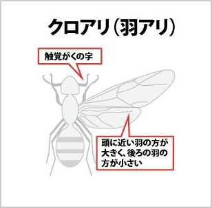 クロアリ(羽アリ)